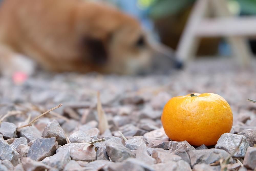 Is Orange Good for Diabetic Dogs