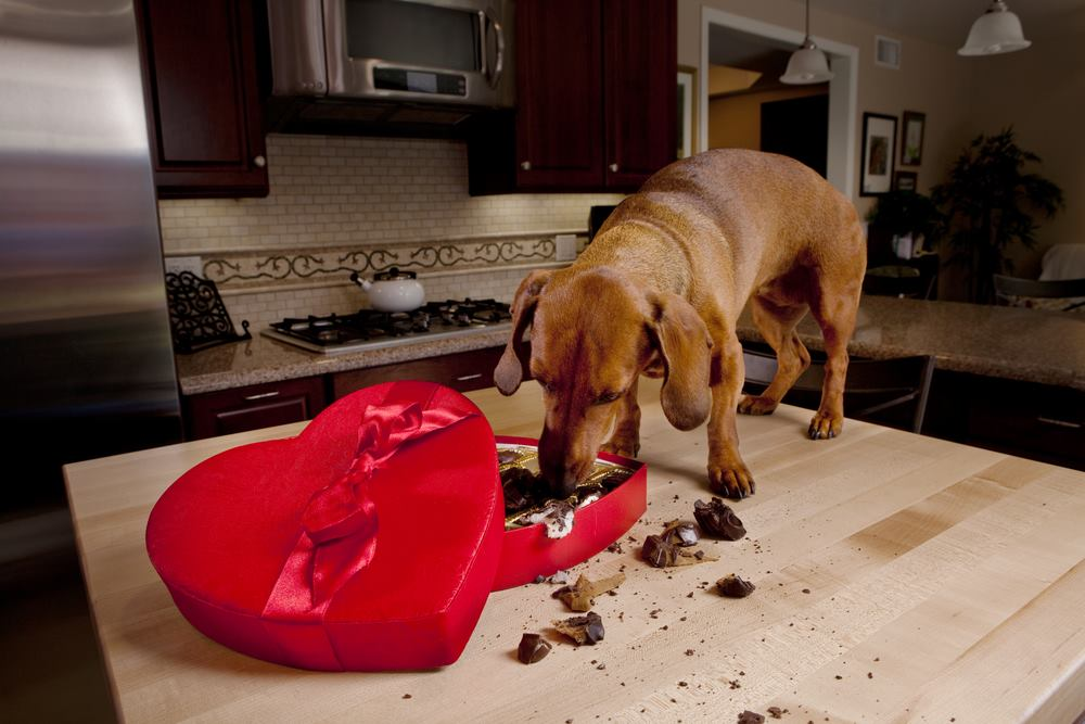 Major Signs Of Chocolate Poisoning In Dogs