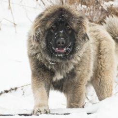 russian bear dogs