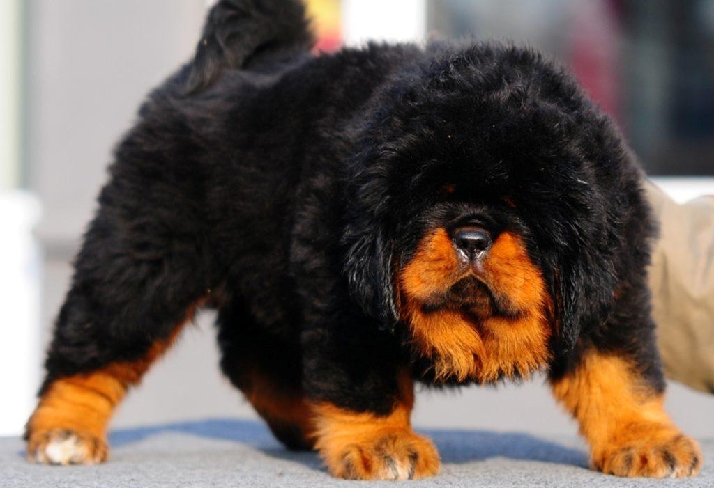 Russian Bear Dog Puppy