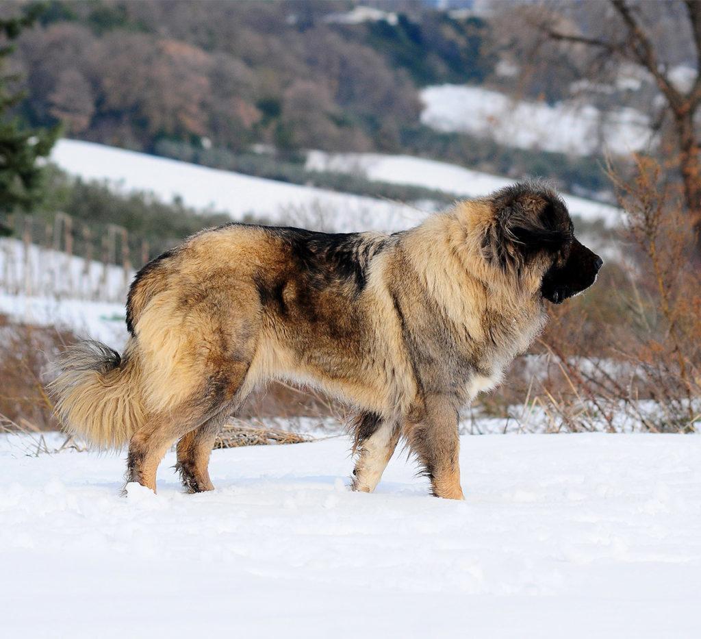 Russian Bear Dog Care