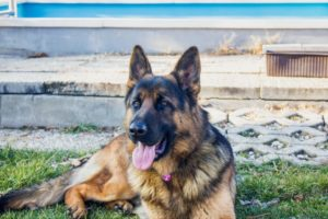 German Shepherd Lab Mix- Guide To An Intelligent & Loyal Companion For You