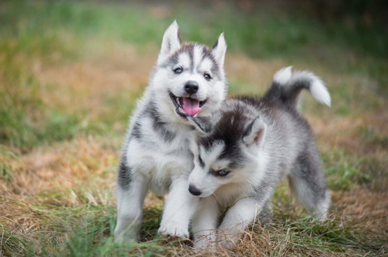 Huskies Food – Basic Information for Any Pet Owner