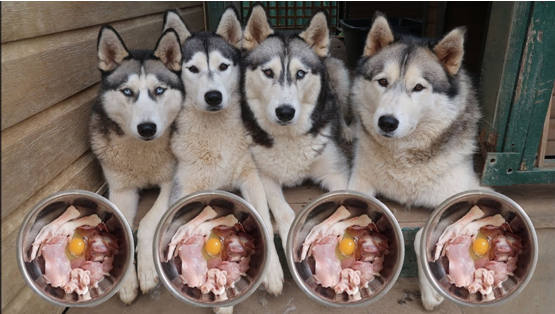 Options of Foods To feed Your Huskies