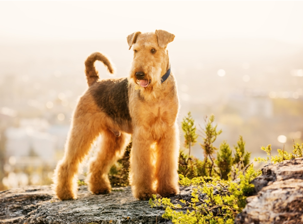 Are Airedale Terriers Good Family Pets?